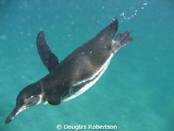 Diving penguin, Galapagos Islands by Douglas Robertson 